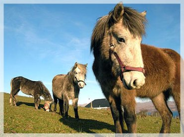 Eriskay Ponies. Image kindly supplied by Peter Macdonald of Flora MacDonald Hostel